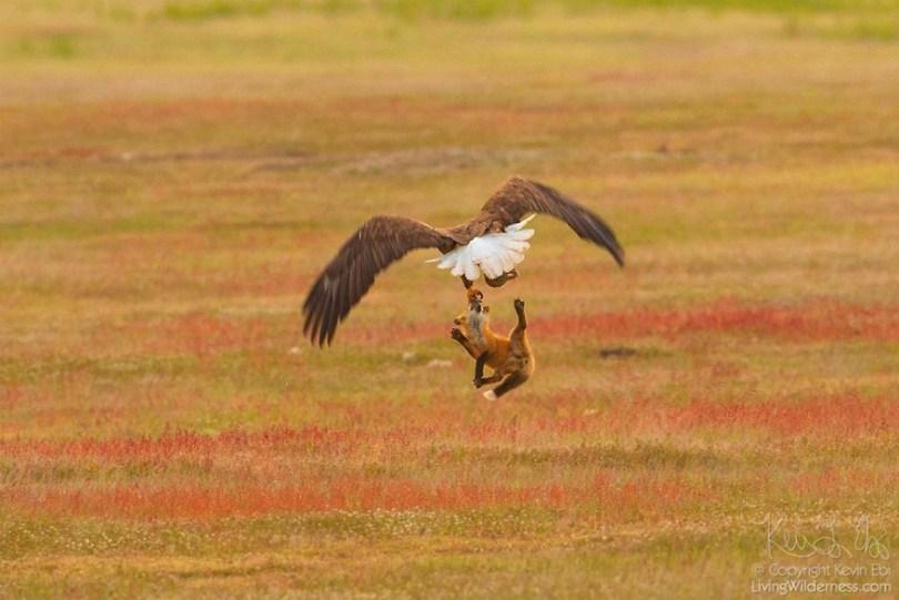 5b07de918459b wildlife photography eagle fox fighting over rabbit kevin ebi 12 5b0661fa2ab13  880 - Incrível! Fotógrafo captura uma batalha rara entre raposa, águia e coelho