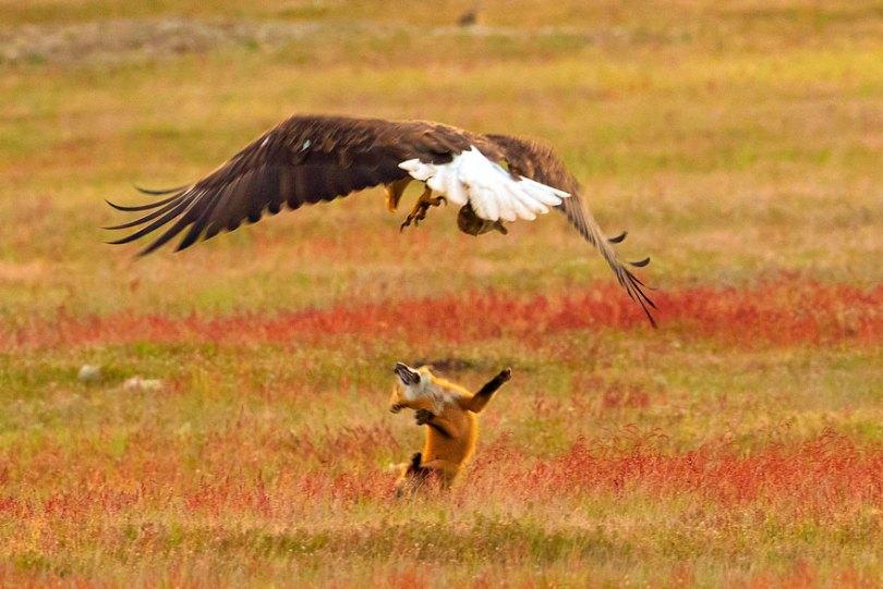 5b07de92a2892 wildlife photography eagle fox fighting over rabbit kevin ebi 10 5b0661f6e5d5c  880 - Incrível! Fotógrafo captura uma batalha rara entre raposa, águia e coelho