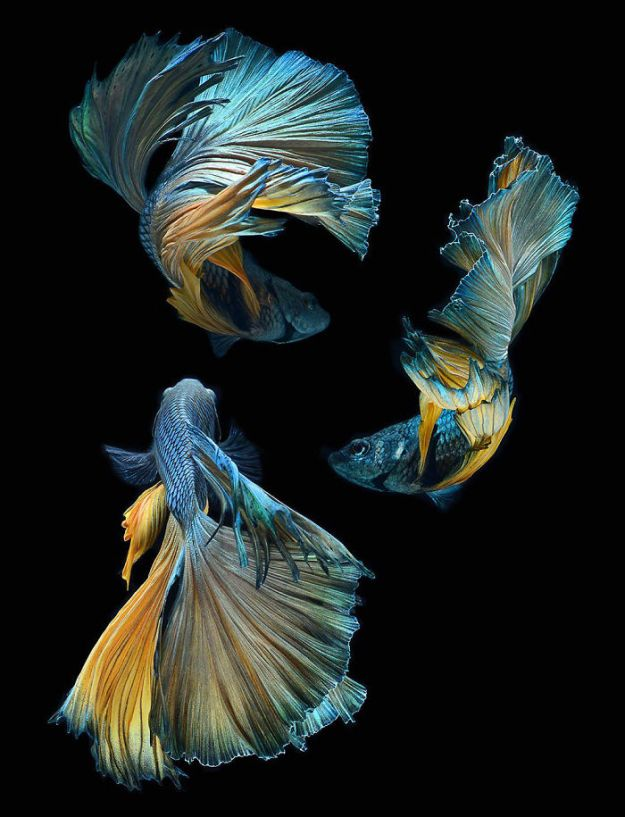 5b75729ad63f8-The-Elegant-And-Fantastic-Poses-Of-Aquarium-Fish-Captured-By-A-Thai-Photographer-5b713a14e7e5b__700 This Thai Photographer Captures Aquarium Fish Like You've Never Seen Before Photography Random