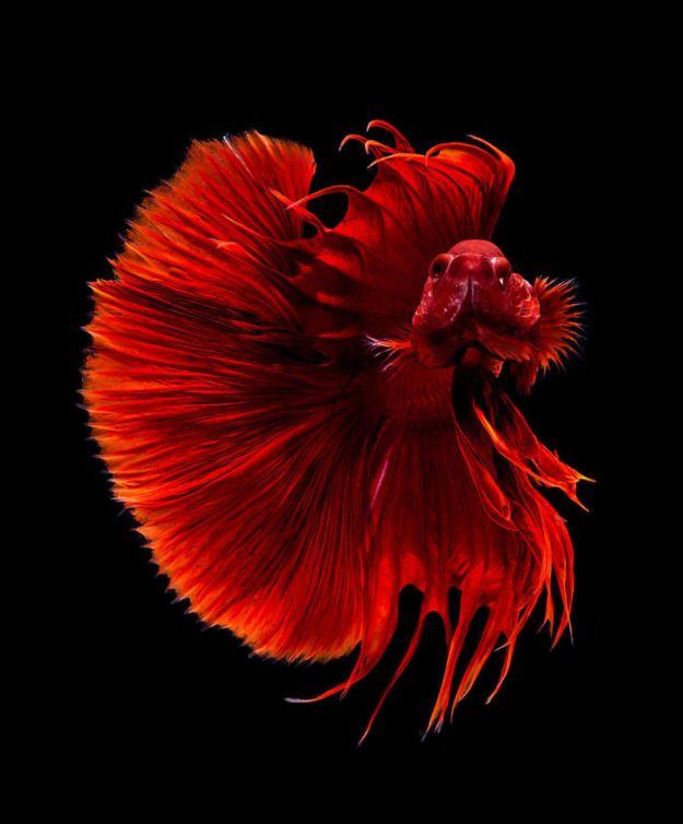 5b75729d38c2e-The-elegant-and-fantastic-poses-of-aquarium-fish-captured-by-a-Thai-photographer-5b70917d90d37__700 This Thai Photographer Captures Aquarium Fish Like You've Never Seen Before Photography Random