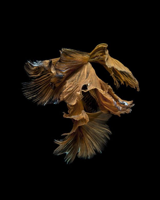 5b75729daac54-The-elegant-and-fantastic-poses-of-aquarium-fish-captured-by-a-Thai-photographer-5b7091c5f28a4__700 This Thai Photographer Captures Aquarium Fish Like You've Never Seen Before Photography Random
