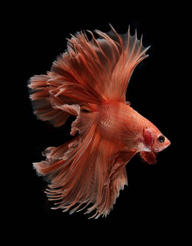 5b75729ec2d50-The-Elegant-And-Fantastic-Poses-Of-Aquarium-Fish-Captured-By-A-Thai-Photographer-5b713a10bef4e__700 This Thai Photographer Captures Aquarium Fish Like You've Never Seen Before Photography Random