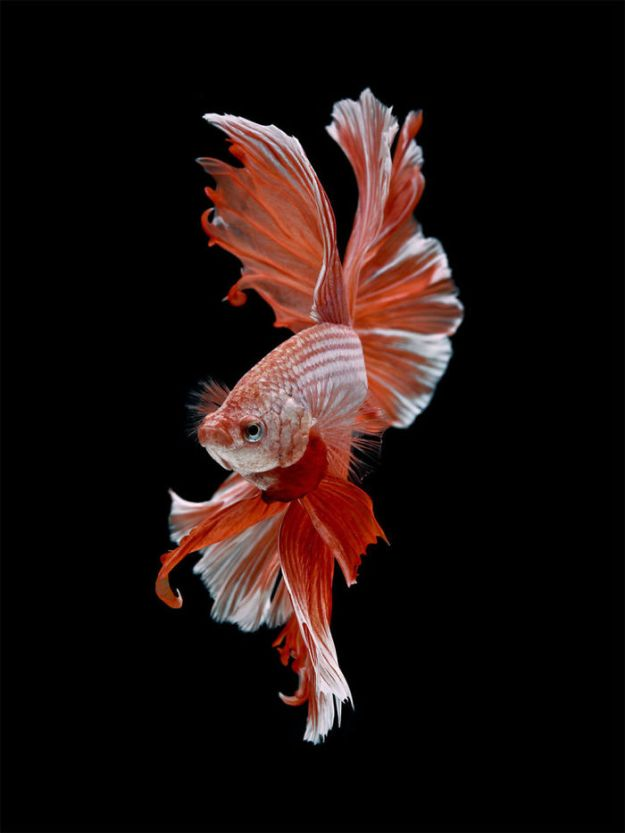 5b75729fabdf3-The-elegant-and-fantastic-poses-of-aquarium-fish-captured-by-a-Thai-photographer-5b70918f24369__700 This Thai Photographer Captures Aquarium Fish Like You've Never Seen Before Photography Random