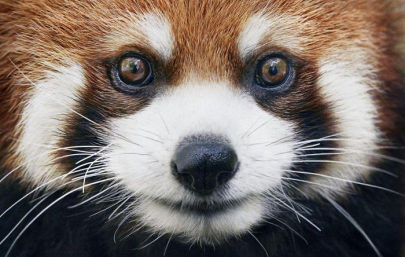 5c136d16bfd7f endangered animals tim flach 5a45fe47d1250 png  700 - Fotos Incríveis de animais que podem em breve ser extintos