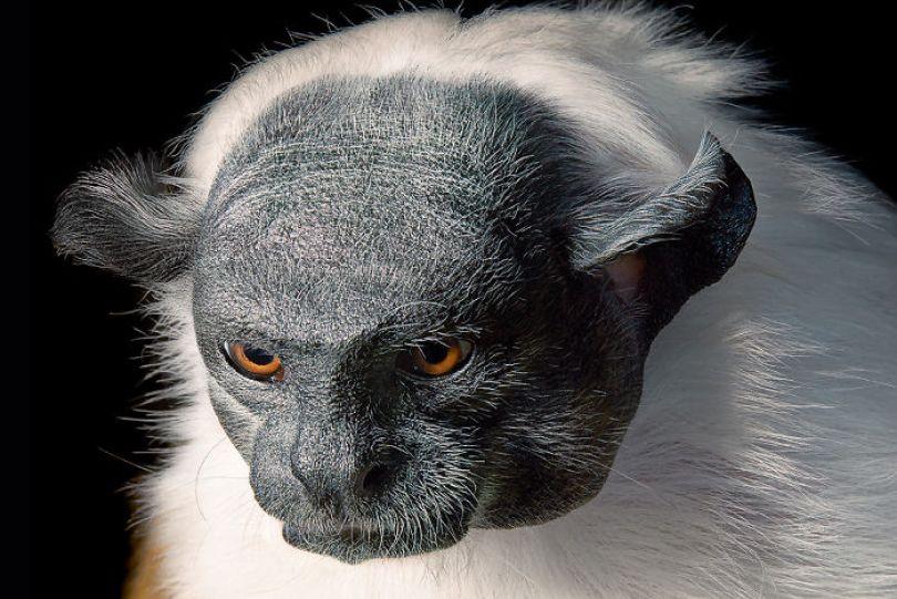 5c136d1789c7e p124 125 pied tamarin 5a4601f41d7a9  700 - Fotos Incríveis de animais que podem em breve ser extintos
