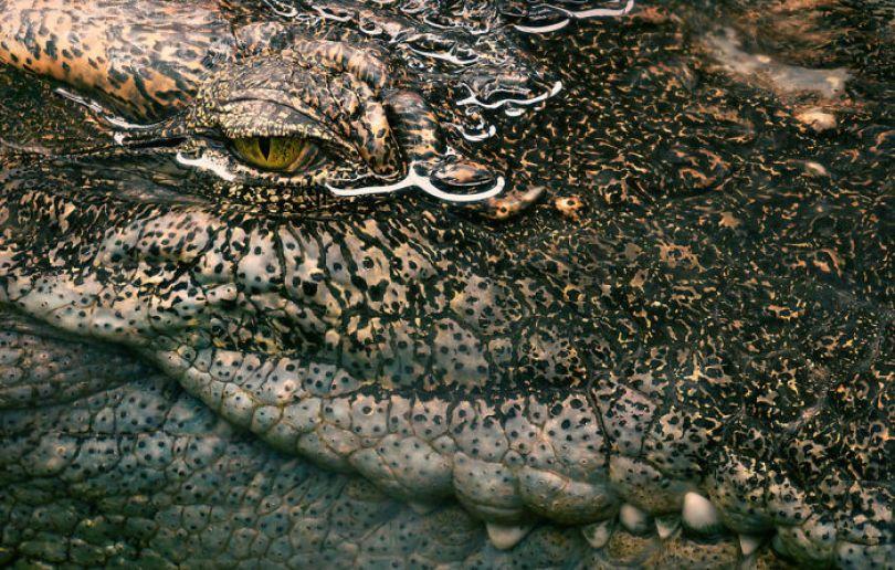 5c136d1a6b5de siamese croc 1024x652 5a4603272a5ed  700 - Fotos Incríveis de animais que podem em breve ser extintos