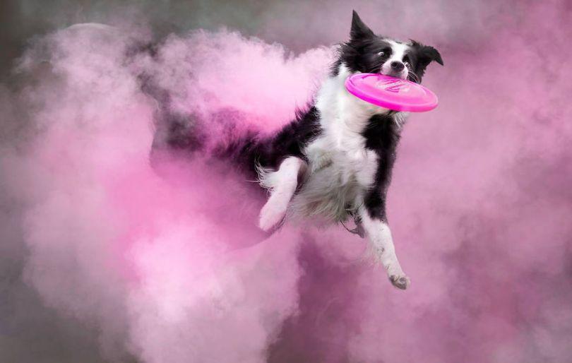 5c41e16d5d4f9 This Canadian photographer tossed powder on some dogs and made something amazing 15 images 5c4035b8414ca  880 - Fotógrafo jogou pó colorido em cachorros e as fotos você precisa ver