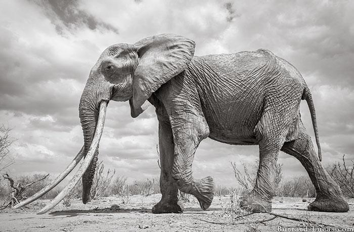 5c8a4f5c5a43f cow elephant queen super tusker will burrard lucas tsavo kenya 7 5c8901b85b5b8  700 - Fotógrafo capturou imagens impressionantes da lendária 'rainha dos elefantes' antes de morrer