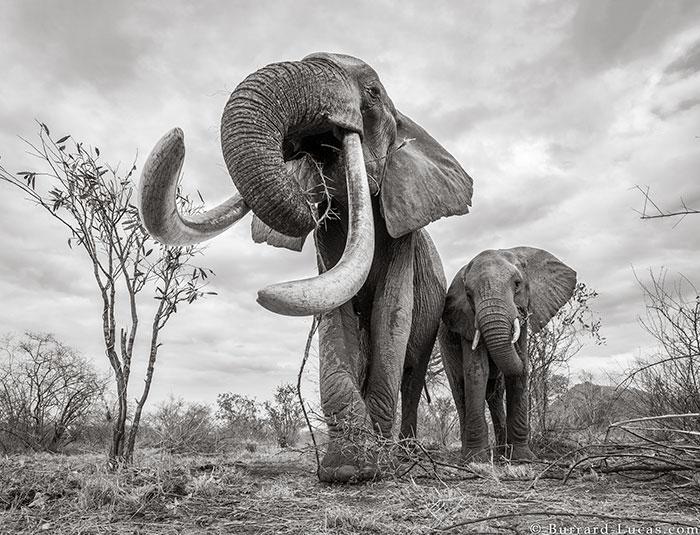 5c8a4f5c9af97 cow elephant queen super tusker will burrard lucas tsavo kenya 5 5c8901b477c25  700 - Fotógrafo capturou imagens impressionantes da lendária 'rainha dos elefantes' antes de morrer
