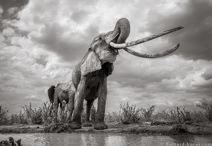 5c8a4f5d24ef1 cow elephant queen super tusker will burrard lucas tsavo kenya 8 5c8901ba5ea3f  700 - Fotógrafo capturou imagens impressionantes da lendária 'rainha dos elefantes' antes de morrer