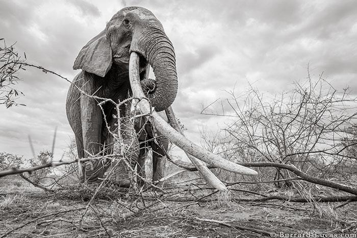 5c8a4f5d5edf5 cow elephant queen super tusker will burrard lucas tsavo kenya 1 5c8901ac3606f  700 - Fotógrafo capturou imagens impressionantes da lendária 'rainha dos elefantes' antes de morrer