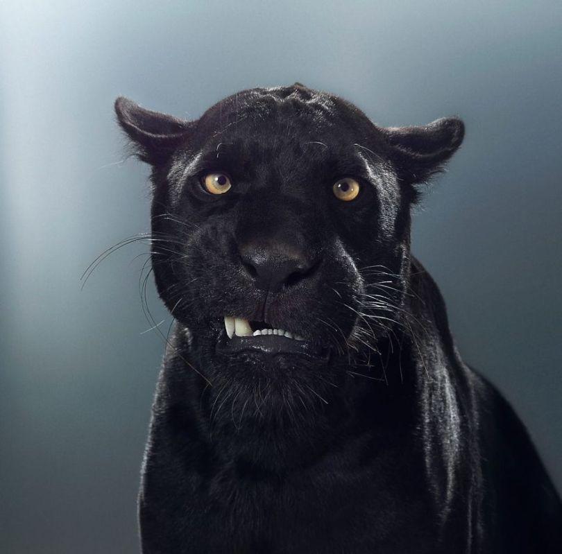5df9e72f69aa6 britanskij fotograf god snimal portrety bolshih koshek i pokazal chto v kazhdom zvere svoj harakter 10 5df6ced5511fe  880 - Fotógrafo e grandes felinos através de retratos simplesmente de arrepiar