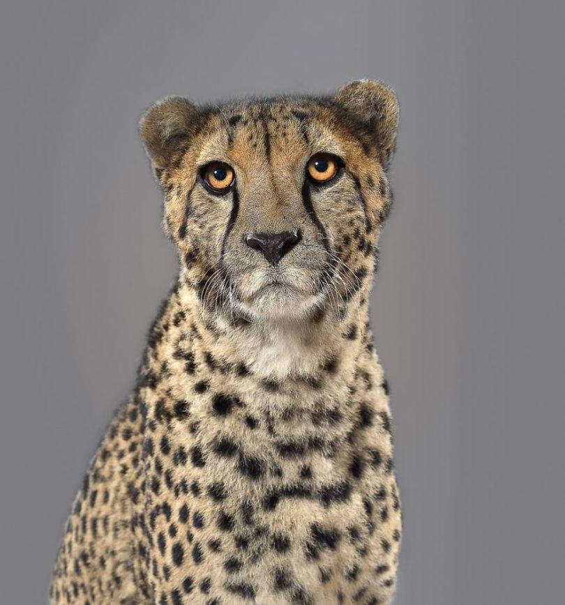 5df9e732d3829 Fashion photographer has taken big cat portraits for a year and revealed that each animal has its own character 5df74f82c90d7  880 - Fotógrafo e grandes felinos através de retratos simplesmente de arrepiar