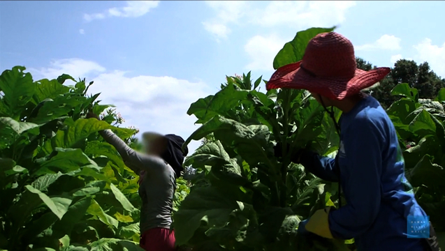 Big Tobacco S Child Workers Young Laborers Endure Health