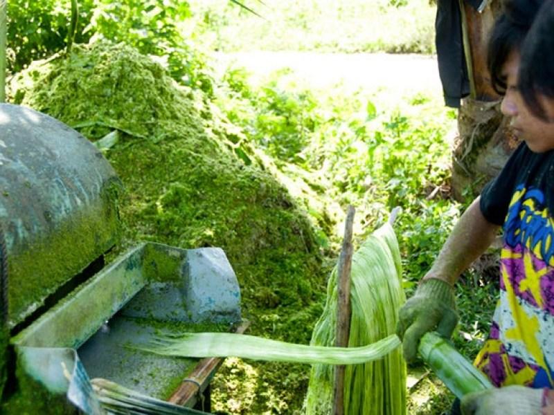 Les feuilles sont ensuite décortiquées pour en extraire la fibre.