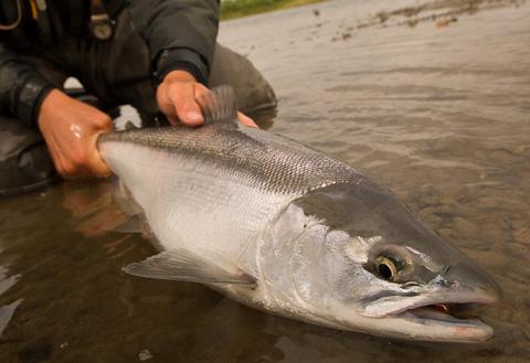 Sockeye Salmon at Alaska West-2
