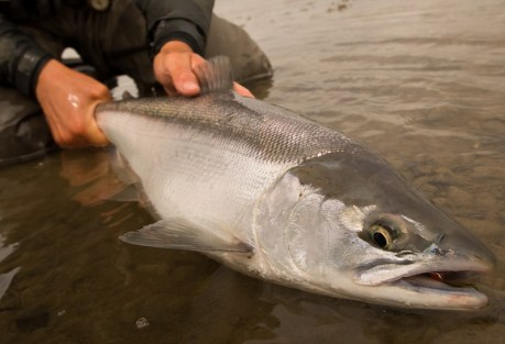 I'm a wild Alaskan salmon, and you should feel great about eating me.  Photo: Cameron Miller