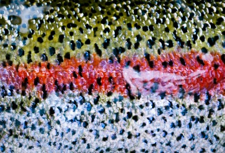 Trout Stripe by Louis Cahill Photography