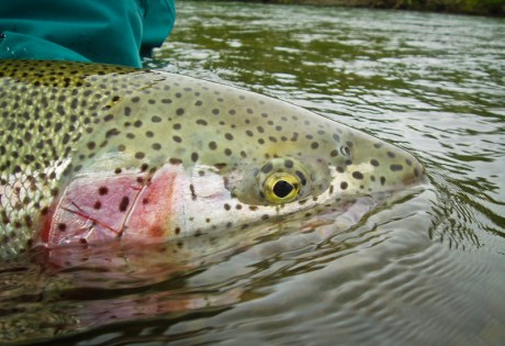 Flesh Rig for Trout