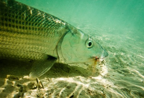 Bonefish - Louis Cahill Photography