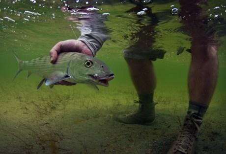 Little Bonefish Underwater