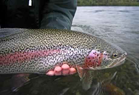 Rainbow Trout Spots.