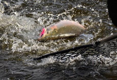 Silver Salmon on Popper