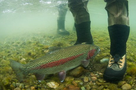 Rainbow Trout Underwater