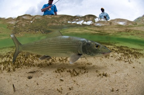 Bonefish in Clear Water
