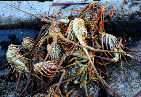 Andros Island Pictures - Lobster Heads