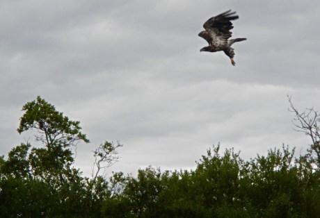 Bald Eagle at Alaska West