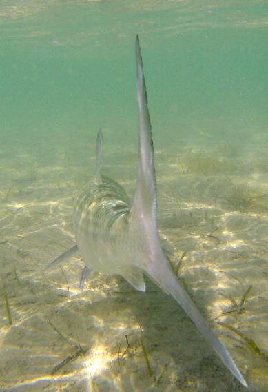 Releasing a bonefish.