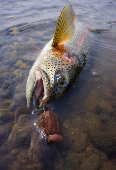 Mousing for Rainbow Trout