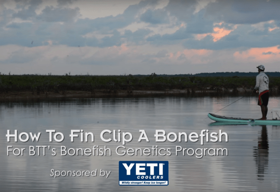 How to Fin Clip a Bonefish.