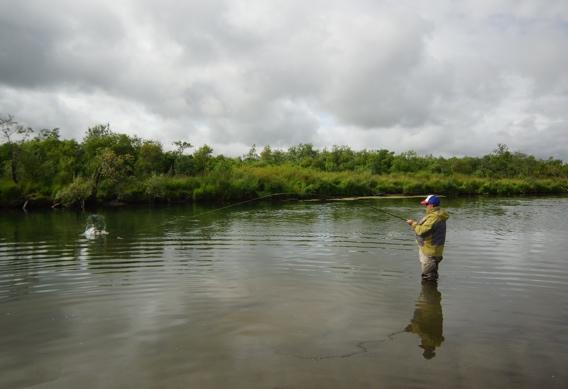 Fighting silver salmon at Alaska West.