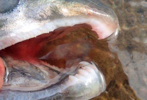 Silver salmon teeth.