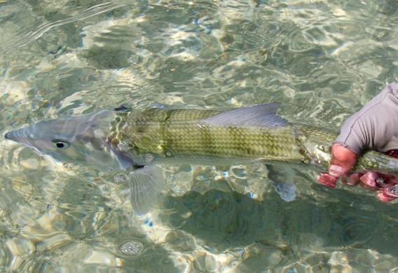 Releasing bonefish by Peter Viau.