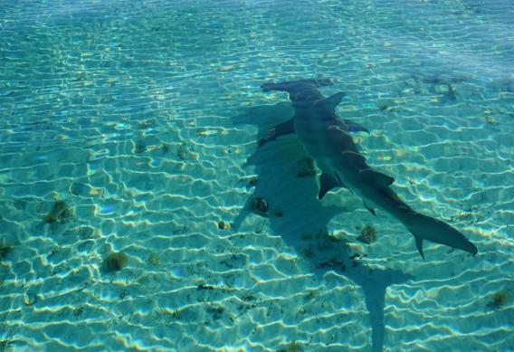 Hammerhead Shark on South Andros.