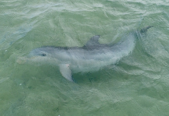 South Andros dolphin