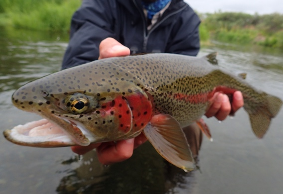 Leopard rainbow trout from Alaska West.