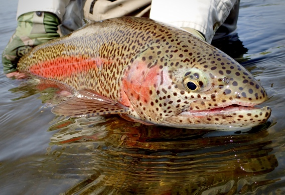 Leopard rainbow trout at Alaska West