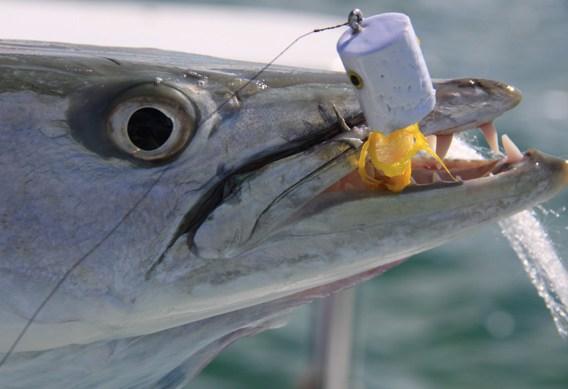 Popper fishing for barracuda