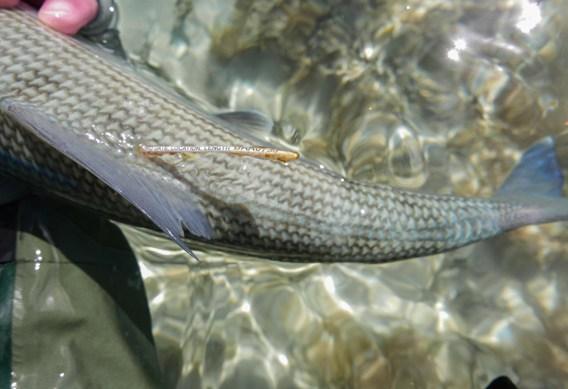 South Andros tagged bonefish