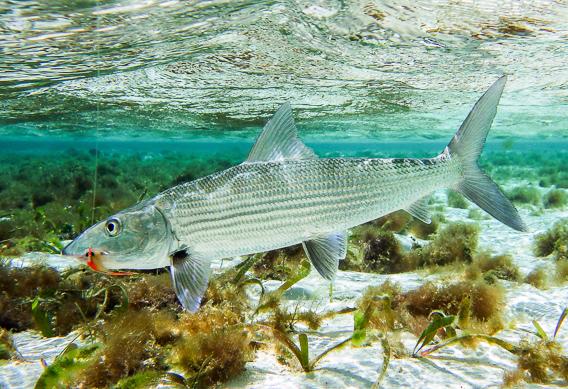 Bonefish camouflage