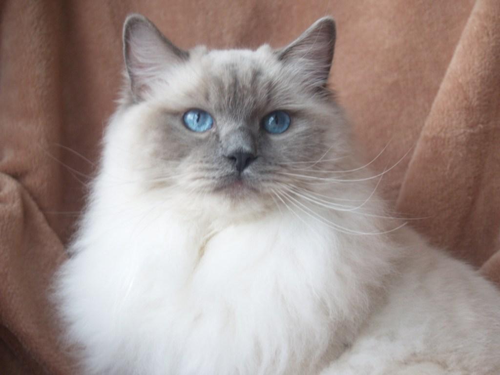 Ragdoll Cat Colors