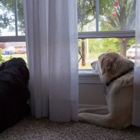 2016-04-18 Dogs Looking Out Window-01
