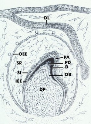 Development of the Dentogingival Junction  Early Stages Diagram 1 | School of Dental Medicine