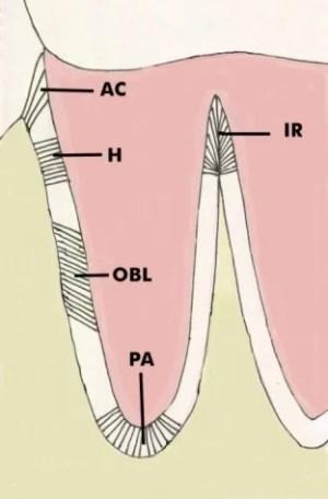 Principal Fibers of the Periodontal Ligament  Deutsch Diagram 1   School of Dental Medicine
