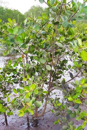mangrovia-guapimirim
