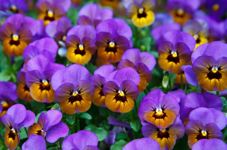 What You Need to Know about Colorado's Edible Flowers